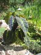Pond Taro